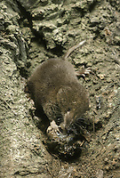 Pygmy Shrew Sorex minutus Length 7-10cm Our smallest land mammal. Active throughout the 24hr period. Hunts invertebrates mainly at ground level, but also climbs well and sometimes found in bird boxes. Adult has dense fur; dark brown on upperparts and flanks, contrastingly pale greyish on underparts. Note the pointed, whiskered snout, and small, beady eyes; ears partly hidden by fur. Tail is long relative to body length. Utters high-pitched squeaks. Widespread and common in woodland margins, hedgerows, meadows and moors.