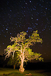 Oak tree in spring, nighttime; Orion constellation star trails.