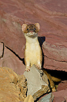 Long-tailed Weasel (Mustela frenata).  Northern Rocky Mountains.  Sept.