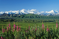Summer green tundra and muldrow glacier moraine, fireweed, Alaska mountain range, Denali National Park, Alaska
