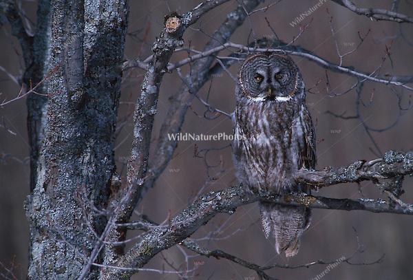 Great Gray Owl, Strix nebulosa; UP Michigan