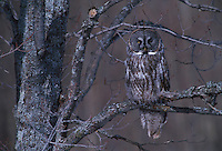 Great Gray Owl, Strix nebulosa; UP Michigan