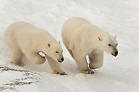2 Polar Bears running along the frozen tundra near Hudson Bay