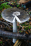 Toadstool, China Beach, Vancouver Island, BC