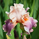 Iris 'Carnaby', mid May. A tall bearded iris that has mid-pink standards, with falls of a deeper raspberry reddish pink.