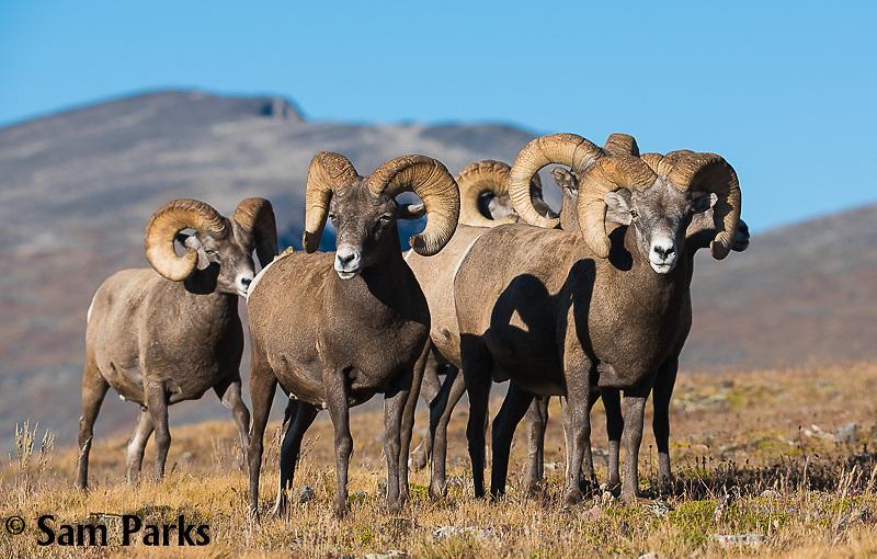 Bighorn sheep rams  on alpine tundra during summer. Rocky Mountain National Park, Colorado.