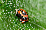 Harlequin Ladybird Pupae, Harmonia axyridis, on leaf in garden, Asian lady beetle, Multicolored Asian lady beetle,  Halloween lady beetle, invasive species to UK.United Kingdom....