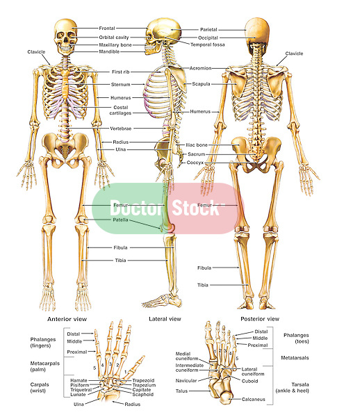 Anatomy Of The Skeletal System Doctor Stock