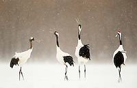 Japanese Cranes (Grus japonensis) displaying; Hokkiado, Japan, February 2015