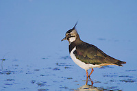 Northern Lapwing, Vanellus vanellus, female, National Park Lake Neusiedl, Burgenland, Austria, April 2007
