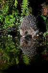 A European Hedgehog (Erinaceus europaeus) enjoying a drink in a shallow pool. Near Corwen, North Wales.