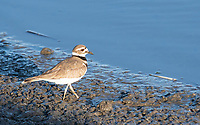 Killdeer, Charadrius vociferus, walks in mud at Lower Klamath National Wildlife Refuge, Oregon