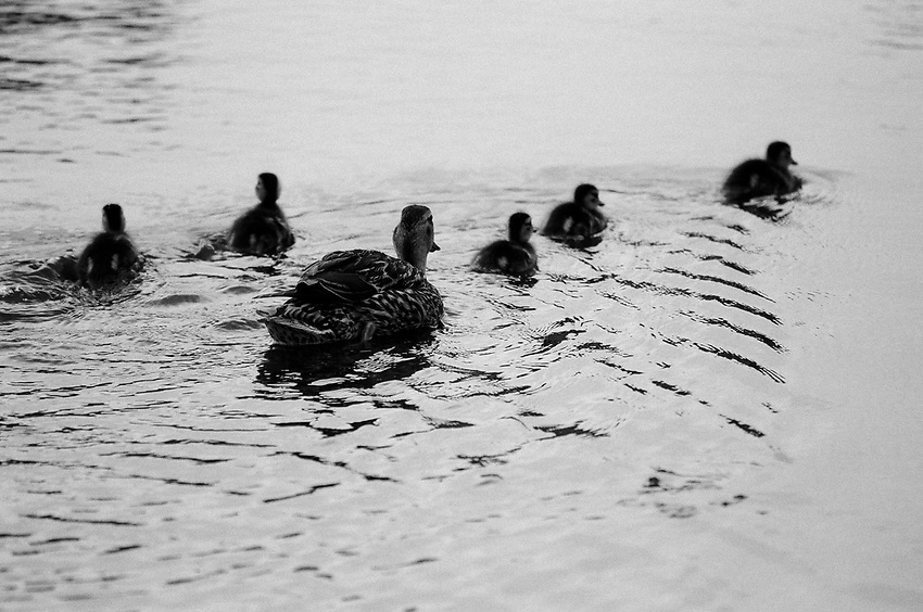 Duck Family, Film