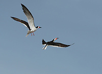 Black Skimmer (Rynchops niger), adult in flight fighting, Port Isabel, Laguna Madre, South Padre Island, Texas, USA