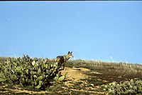 COYOTE HUNTING THE SCRUBLAND