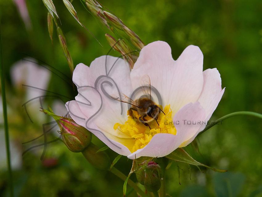 Gathering nectar from a dog rose. Bees are gluttons for the pollen from this flower.<br /> Butinage sur une fleur d&rsquo;&eacute;glantier. Les abeilles raffolent du pollen de cette rosae.