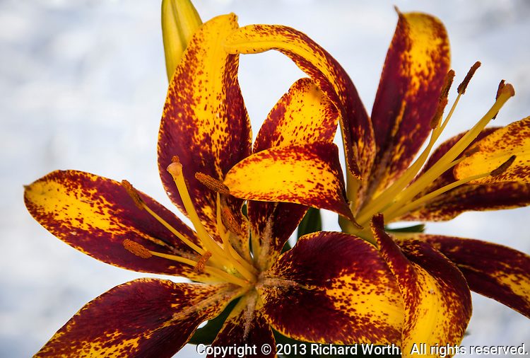 A close-up image of two Asiatic lilies shows each flower's red and yellow petals, stigma and stamen.