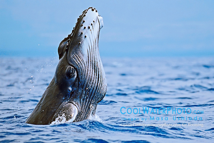 Humpback Whale newborn calf breaching with pleats expanded, Megaptera novaeangliae, Hawaii, Pacific Ocean.
