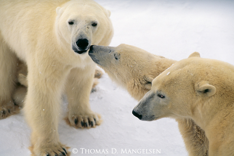 A polar bear cub nuzzles its mother's face.