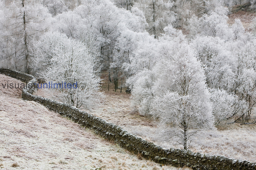 Hoar frost on trees and a stone wall near Tarn Hows in the Lake District, Cumbria, UK
