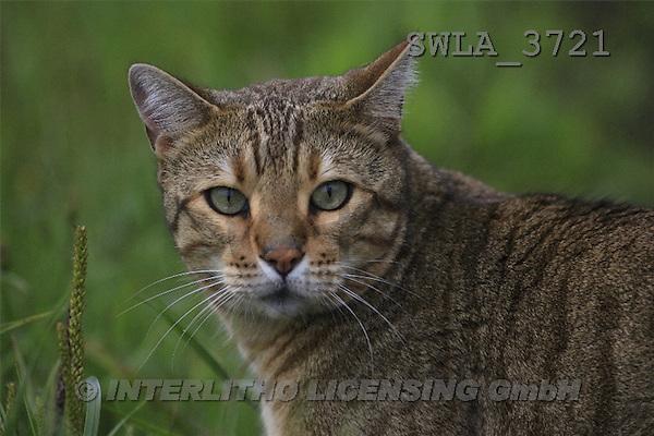 Carl, ANIMALS, photos(SWLA3721,#A#) Katzen, gatos