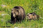 Grizzly bear sow and young cubs in wildflowers. Yellowstone National Park, Wyoming.