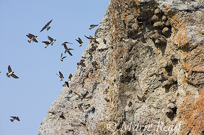 Cliff Swallows (Petrochelidon pyrrhonota) flock flying around their colony of mud nests on a cliff face, California, USA