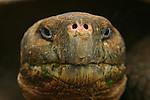 With its 250 kilos and its expectation of life of more than 150 years, the giant turtle is the uncontested &quot;star&quot; of the Galapagos<br /> Avec ses 250 kilos et son esp&eacute;rance de vie de plus de 150 ans, la tortue g&eacute;ante (Geochelone elephantophus) est la star  incontest&eacute;e des Galapagos, le symbole mythique de cet archipel surgi du Pacifique il y a seulement cinq millions d'annees. .