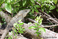 0626-1111  Black Spiny-tailed Iguana (Black Iguana, Black Ctenosaur), On Half-moon Caye in Belize, Ctenosaura similis  © David Kuhn/Dwight Kuhn Photography