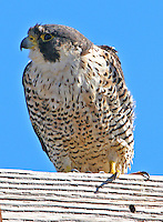 Peregrine falcon adult on cross arm