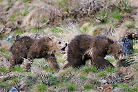 Young Grizzly Bear (Ursus arctos) cubs. Yellowstone National Park, summer.