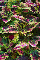 Solenostemon (Coleus) 'Harvest Time' annual ornamental foliage plant in splashed vivid pattern of red and green and yellow colors