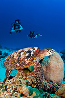Divers watch a A hawksbill turtle ( Eretmochelys imbricata ) feed on coral in the Similan Islands, Andaman Sea, Thailand