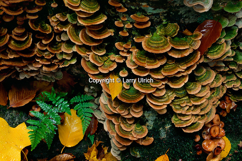 Many-colored polypore <br />