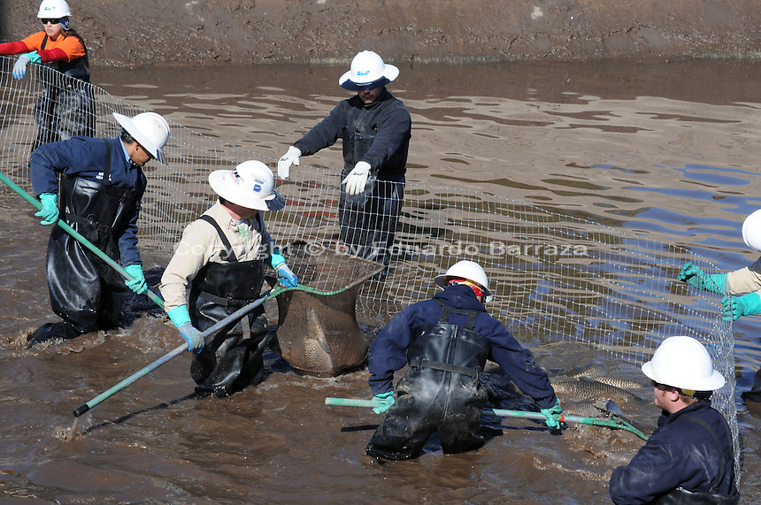 Scottsdale, Arizona (January 12, 2013) - As part of a seven-year plan to dry up all portions of its 131-mile canal system, Salt River Project (SRP), relocated the White Amur fish they used as an environmentally friendly and cost effective alternative to herbicides and heavy machinery for vegetation control. In this image, workers inside the canal proceed to gather the fish for transport to another section of the canal. Photo by Eduardo Barraza © 2013