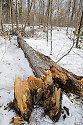 Snapped yellow birch tree along the Dry River Trail in Crawford Notch State Park of the White Mountains, New Hampshire during the spring months.