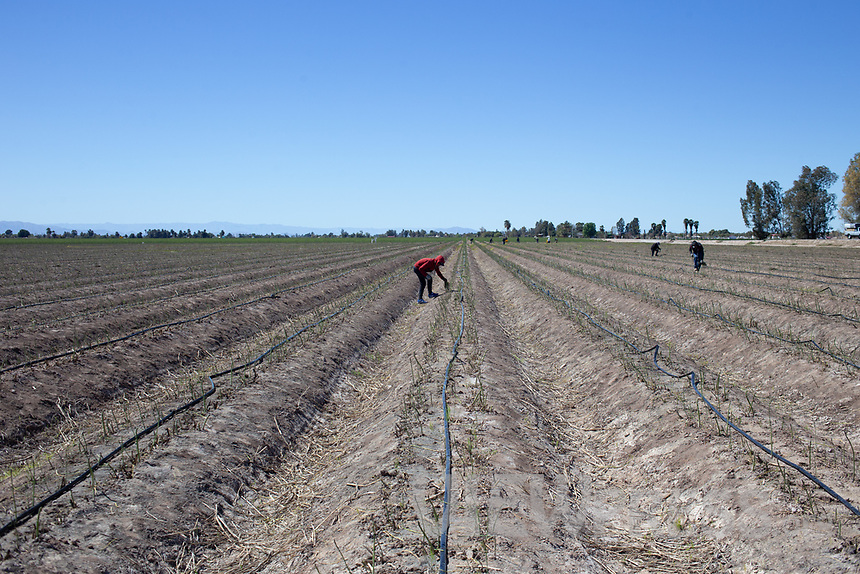 MEXICALI, MEXICO - March 14. A general view of a worker picking up asparagus on March, 14 2019 in Mexicali, Mexico. The asparagus need less water than the alfalfa but they are sold cheaper <br /> The rivers usually end in the sea, the Colorado dies in a border. Its the only case like this in the world. There is less water in the Colorado River, hence less water in crops and areas of northern Mexico.  <br /> (Photo by Luis Boza/VIEWpress)