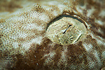 Close up detail of the eye of a  tassled wobbegong shark :Eucrossorhinus dasypogon,