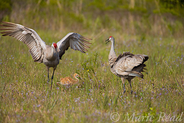 Florida Sandhill Cranes (Grus canadensis) (Florida race), 2 adults and colt, one adult dancing, Kissimmee, Florida, USA