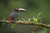 Collared aracari, Pteroglossus torquatus, Costa Rica