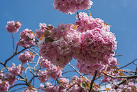A tree in blossom, Chipping, Preston, Lancashire.