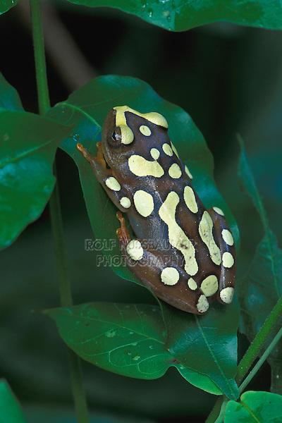 Argus or African Reed Frog (Hyperolius argus), adult resting, Mombasa, Kenya