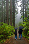 Couple walking in forest with umbrellas on trail in rain and fog, Lady Bird Johnson Grove, Redwood National Park, California