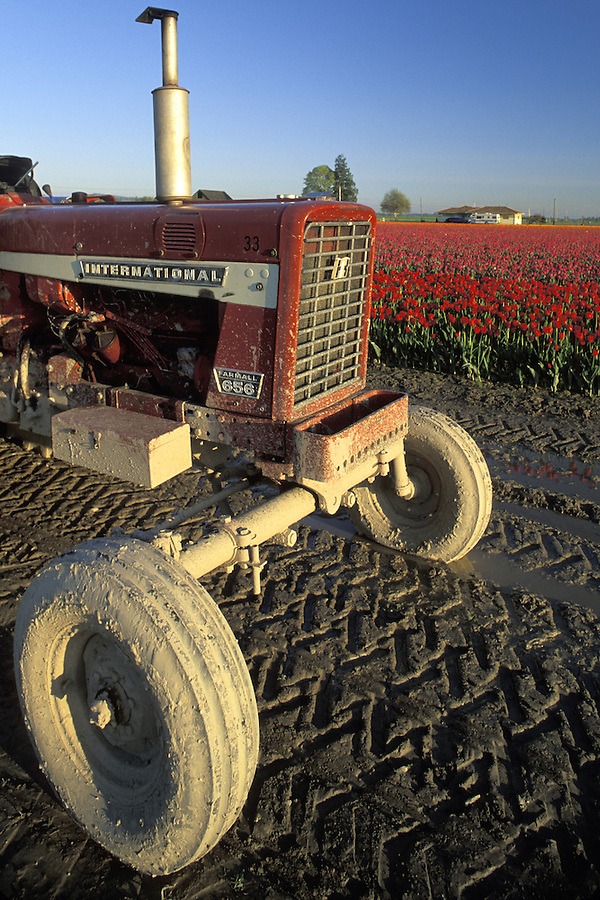 Tractor next to field of red tulips at sunset, Mount Vernon, Skagit Valley, Washington