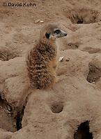 0214-08uu  Standing Meerkat on Lookout, Suricata suricatta © David Kuhn/Dwight Kuhn Photography
