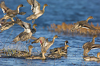 Ducks--mostly Northern Pintails--taking flight.  Western U.S., fall.