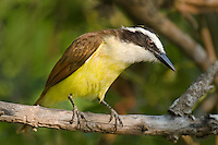 554810196 a wild adult great kiskadee pitangus sulphuratus perches on a tree limb in santa ana national wildlife refuge in the rio grande valley of south texas
