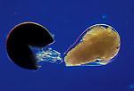 Brine Shrimp hatching (Artemia). LM