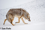 Coyote on frozen river. Yellowstone National Park, Wyoming.