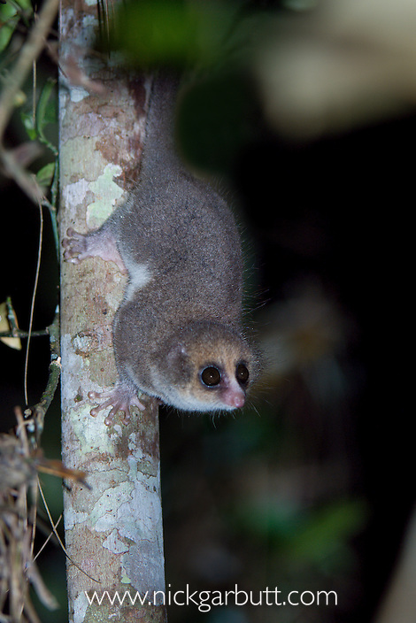 Adult Hairy-eared Dwarf Lemur (Allocebus trichotis) in the forest understorey at night. Mitsinjo Forest, Andasibe-Mantadia National Park, eastern Madagascar (Endangered).